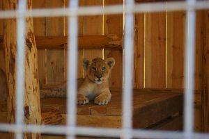 Львенок Бердянского зоопарка